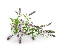 Fresh mint with flowers. On white background Stock Photo