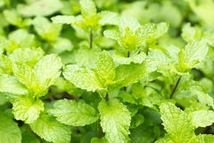 Fresh mint in the garden Stock Images