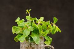 Fresh mint in glass mug on black background closeup macro Royalty Free Stock Photography