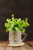 Fresh mint in glass mug on black background closeup macro Stock Photography