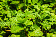 Fresh mint. The green fresh mint in the farm Royalty Free Stock Photography