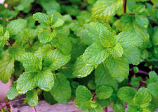 Fresh mint  green leaves herb Stock Image