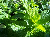 Fresh mint. Fresh green mint looking to the sun Stock Photo