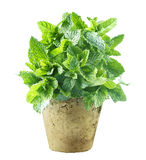 Fresh mint growing in a flowerpot royalty free stock images