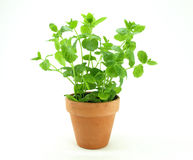 Fresh mint herb. On a pot over white royalty free stock image