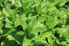 Fresh Mint in Herb Garden Stock Images