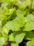 Fresh mint herb Royalty Free Stock Photo
