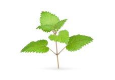 Fresh mint herb Stock Photography