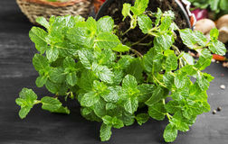 Fresh mint herb Stock Images