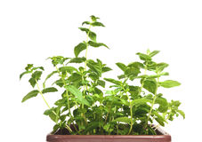 Fresh mint herb in a pot. On the white background Stock Photography