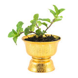 Fresh mint herb in pot Stock Image