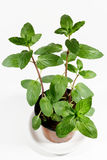 Fresh mint herb in a pot Stock Images