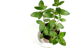 Fresh mint herb in a pot Royalty Free Stock Photos
