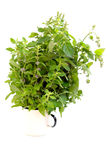 Fresh mint herbs Royalty Free Stock Photography