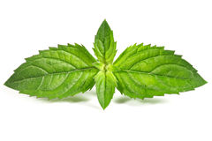 Fresh mint i royalty free stock photo