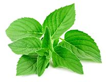 Fresh mint isolated Clipping Path. Mint leaves isolated on white. Fresh mint Clipping Path stock photo