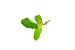 Fresh mint isolated Royalty Free Stock Image