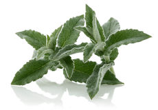 Fresh mint Stock Photo