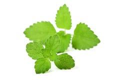 Fresh mint. Royalty Free Stock Photo