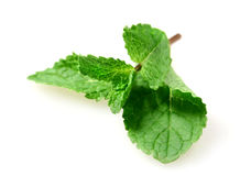 Fresh mint leaf Stock Photography