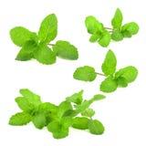 Fresh mint leaf Royalty Free Stock Image