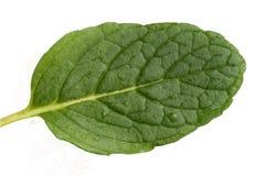Fresh mint leaf Royalty Free Stock Photography