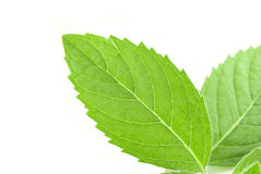 Fresh mint leaf Stock Images