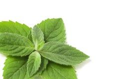 Fresh mint leaf Stock Photography