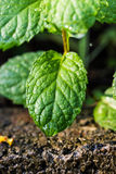 Fresh Mint leaf on background-closeup Royalty Free Stock Image