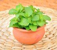 Fresh mint leaf on clay pot. Fresh mint leaf on a clay pot stock images