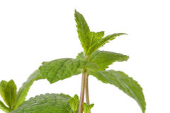 Fresh mint leaf in closeup Royalty Free Stock Photo
