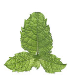 Fresh Mint Leaf Stock Photos