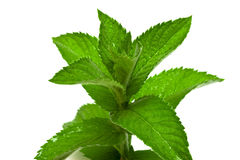 Fresh mint leafs Royalty Free Stock Photo