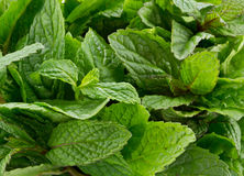 fresh mint leafs Royalty Free Stock Images