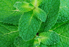Fresh mint leafs close-up as a background. Stock Image
