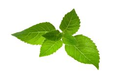 Fresh Mint Leaves Royalty Free Stock Photos
