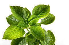 Fresh Mint Leaves. On white background stock photos