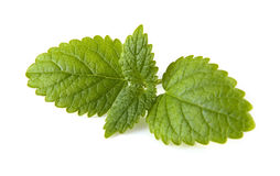 Fresh mint leaves. On a white Stock Images