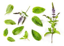 Free Fresh Mint Leaves And Blooming Mint Flower Royalty Free Stock Photo - 153265605