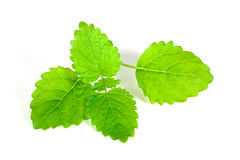 Fresh mint leaves , casting shadow on white surfac Royalty Free Stock Photography