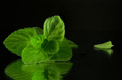 Fresh mint leaves close-up. On a dark background Stock Photos