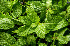 Fresh mint leaves. Close up portrait of fresh mint leaves Royalty Free Stock Image