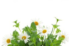 Fresh mint leaves with daisy Royalty Free Stock Image