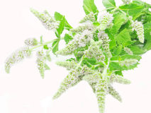 Fresh mint leaves with flowers Royalty Free Stock Photo