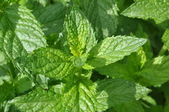 Fresh mint leaves Stock Photography