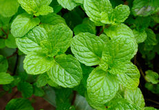 Fresh mint leaves herb in  garden Royalty Free Stock Image