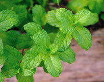 Fresh mint leaves herb plant Royalty Free Stock Image