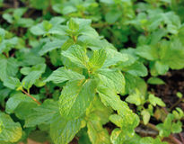 Fresh mint leaves herb plant Stock Image