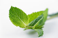 Fresh Mint leaves are hugely popular for tea and fresh juices and salads Stock Photo