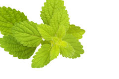 Fresh Mint leaves, isolated. On the white background Royalty Free Stock Photo